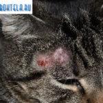 грибок головы у кота фото