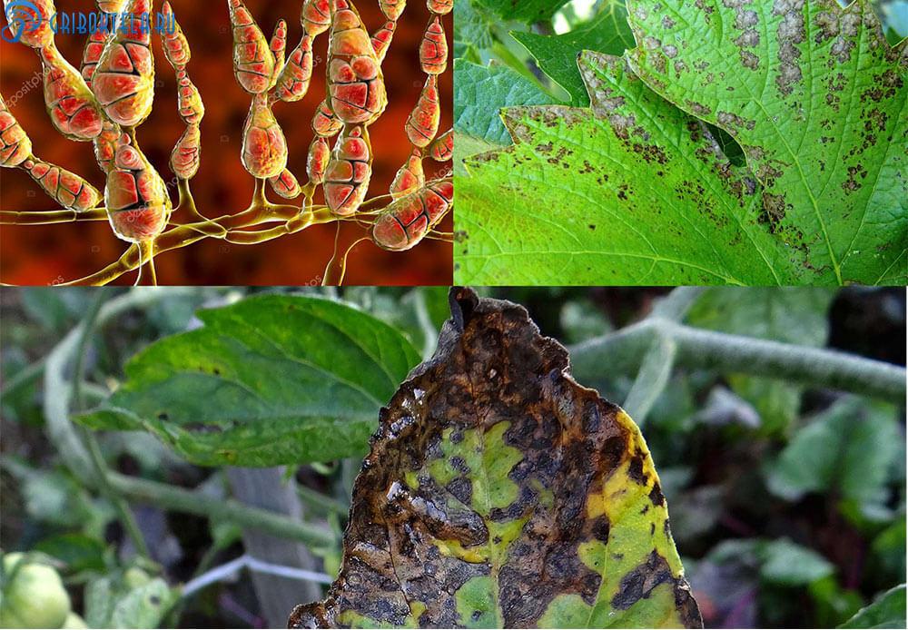 Альтернариоз картофеля- описание и характеристика болезни, меры борьбы, фото